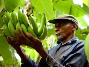 produttore banane locale