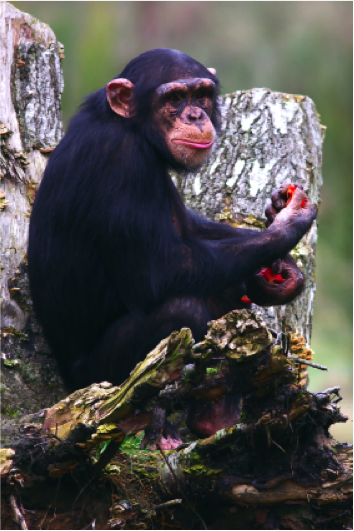 scimpanzee